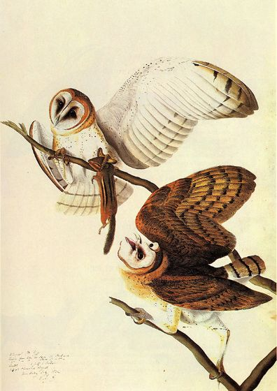 Audubon, John James: Barn Owls. Ornithology Fine Art Print/Poster. Sizes: A4/A3/A2/A1 (001008)